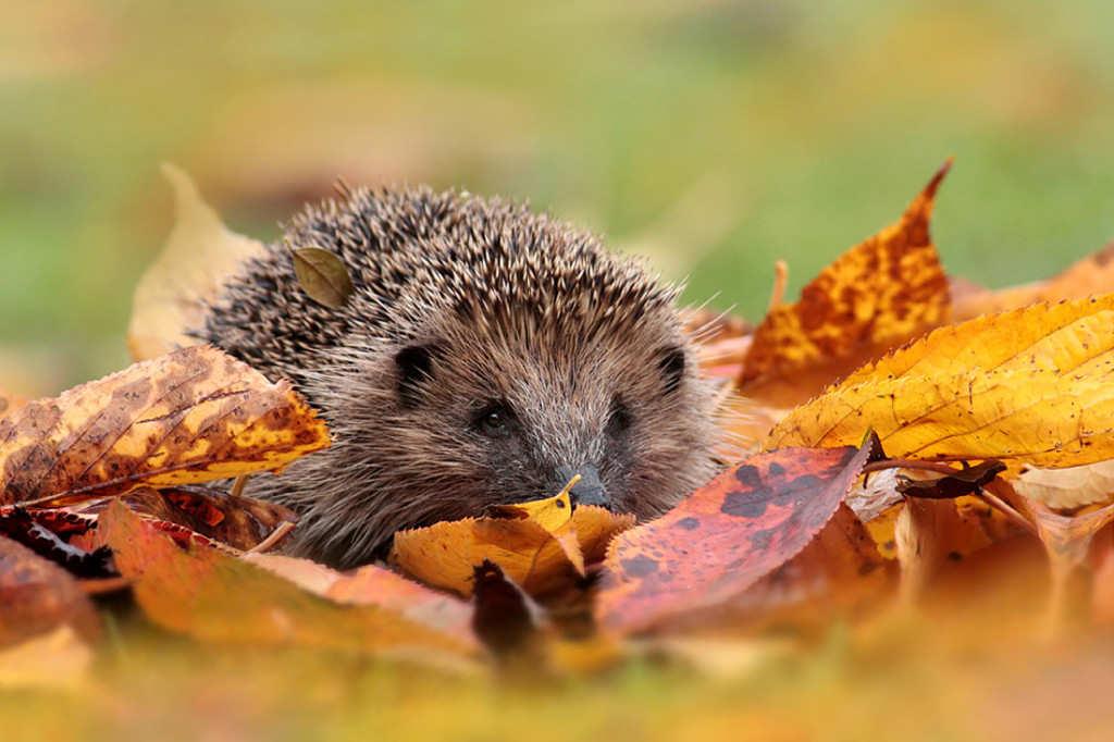 Autumn Hedgehog 1