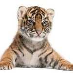 Tigrișorul Tigrișor!